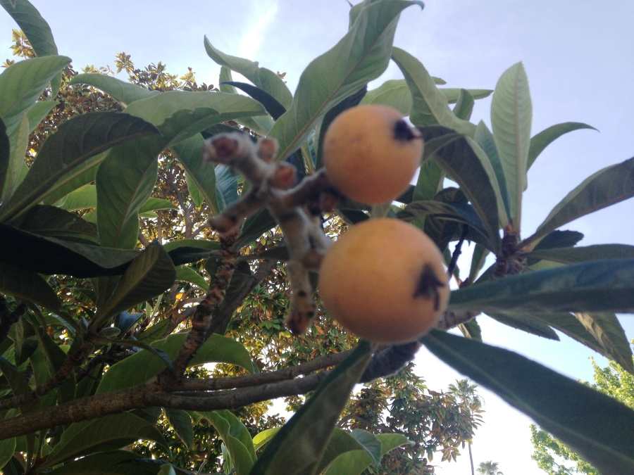 The Loquat up close