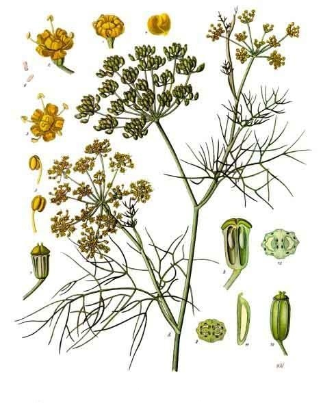 Foeniculum_vulgare_-_Köhler–s_Medizinal-Pflanzen-148
