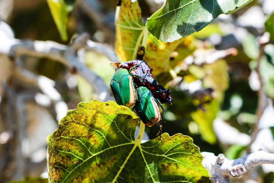 Fig Bugs (1 of 1)