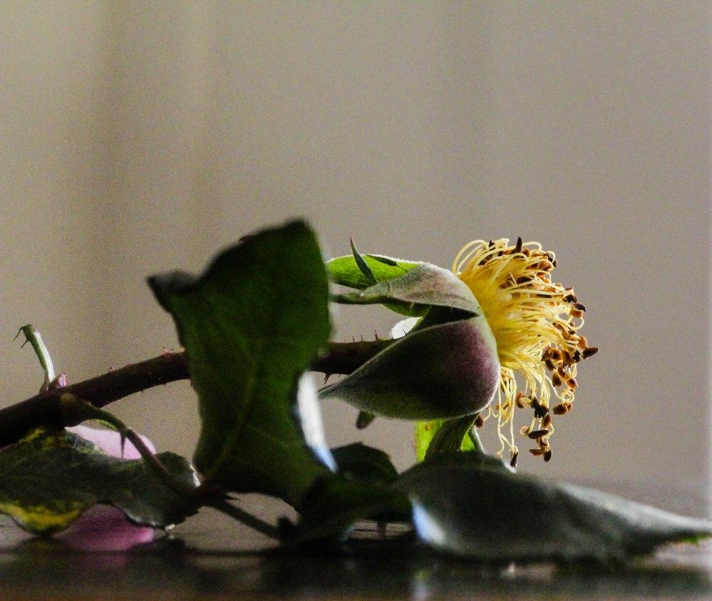 rose petals (18 of 21)